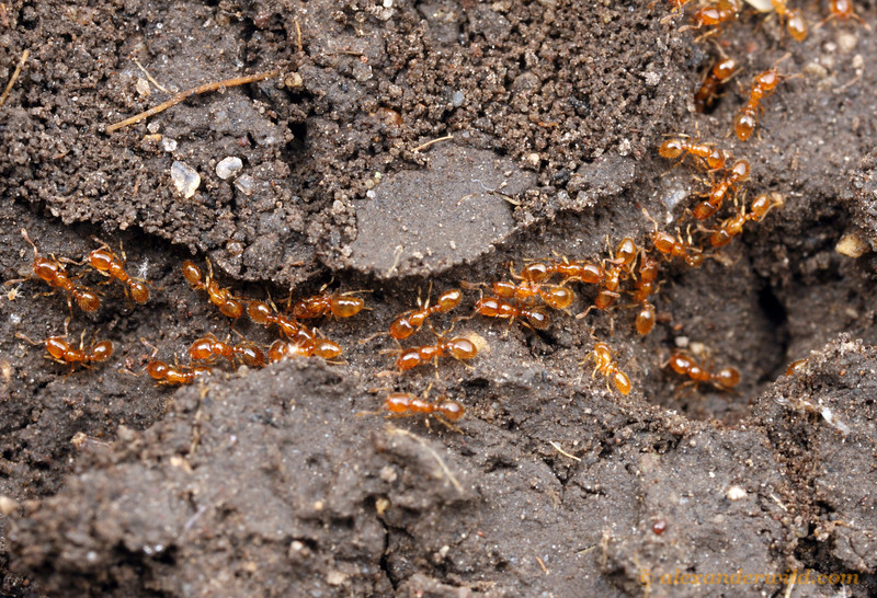 An underground trail of thief ants, Solenopsis molesta  Urbana, Illinois, USA