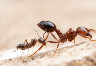 A feisty little Argentine ant (Linepithema humile) attacks a much larger fire ant (Solenopsis invicta).  Both species co-exist naturally in subtropical South America, but in the southern United States where both have been accidentally introduced, the fire ant has displaced the Argentine ants.  Austin, Texas, USA