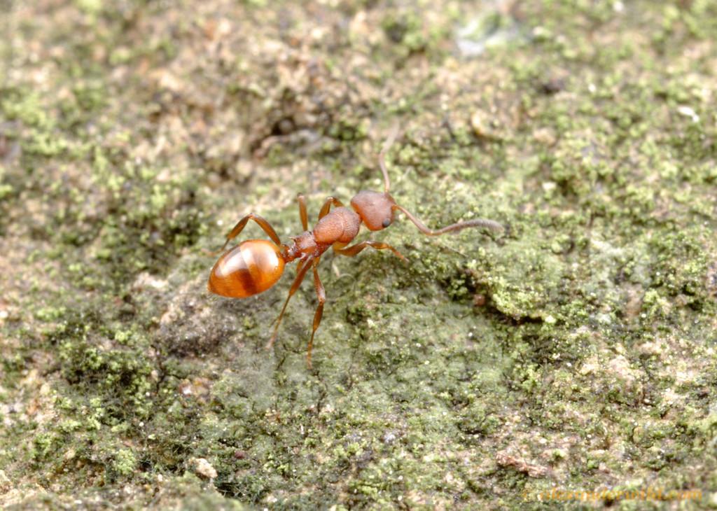 A foraging Stigmacros worker.  Diamond Creek, Victoria, Australia