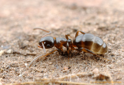 Stigmacros worker ant with a full crop.  Yandoit, Victoria, Australia