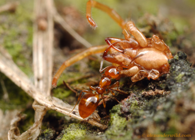 This Stigmacros worker has discovered the carcass of a spider and is taking it back to her nest.   Diamond Creek, Victoria, Australia
