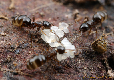 Stigmacros, workers with eggs in the brood nest.  Yandoit, Victoria, Australia