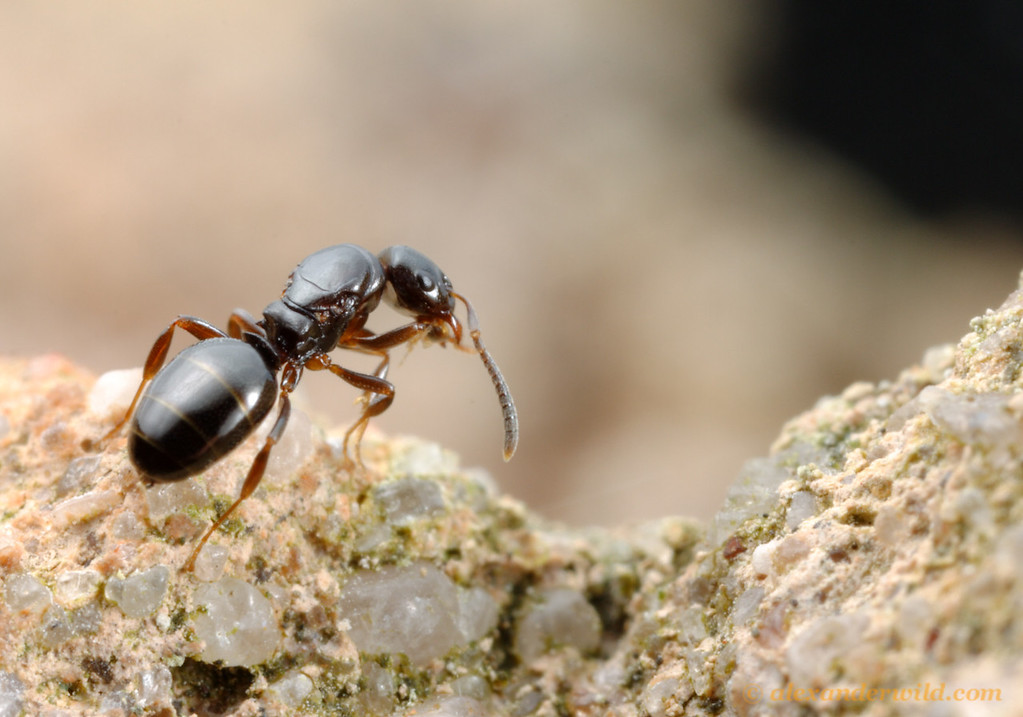 A young Stigmacros queen pauses to groom herself while looking for a spot to found a new colony.  Diamond Creek, Victoria, Australia