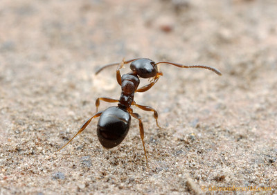Stigmacros worker ant grooming.  Ants are meticulously clean animals.  Yandoit, Victoria, Australia
