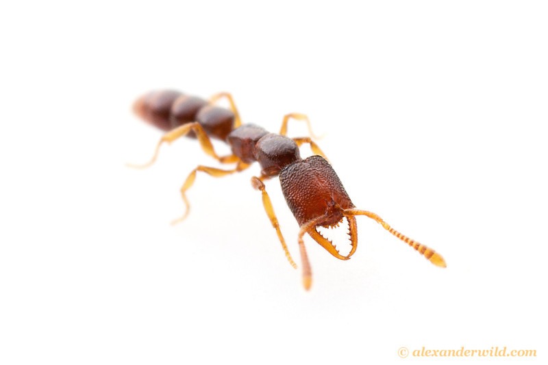 Stigmatomma worker ant shows her characteristically toothy mandibles, presumably an adaptation for capturing arthropod prey.  Kibale forest, Uganda
