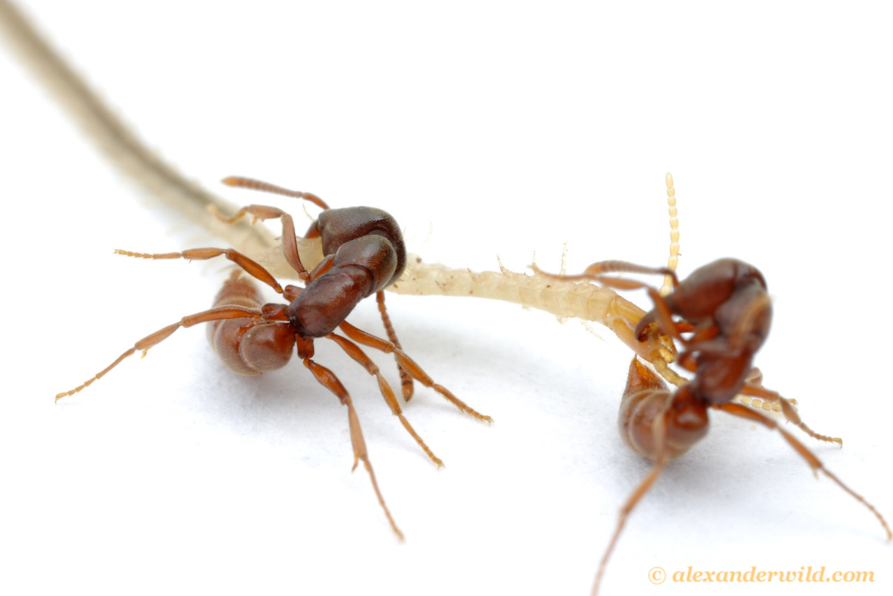 Stigmatomma oregonensis is a specialist predator of geophilomorph centipedes.  Here, two workers attempt to sting the front end of a centipede while the back end pulls them across the substrate.  Quincy, California, USA