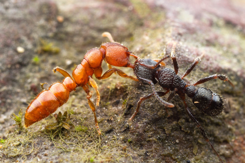 Stigmatomma ferruginea (left) & Rhytidoponera victoriae, fighting.  Diamond Creek, Victoria, Australia