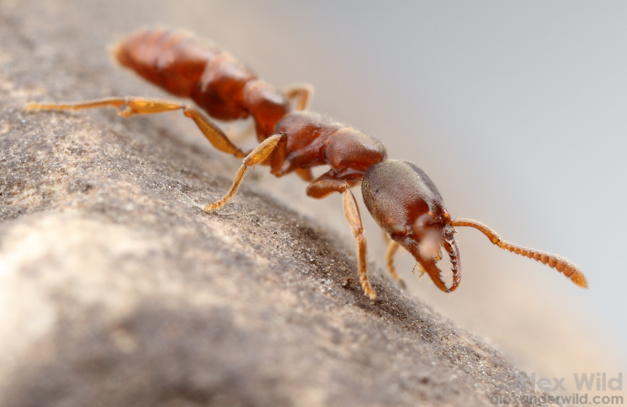 Stigmatomma pallipes is the common dracula ant of eastern North America.  Urbana, Illinois, USA