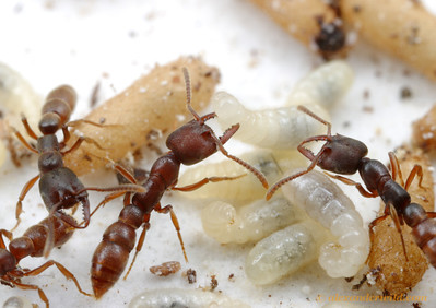 Adult Stigmatomma cannot eat solid food and are incapable of the trophallaxis behavior that allows most other ant species to share food among nestmates.  Instead, they have developed a novel way to feed themselves: consuming the hemolymph of nestmate larvae.  Ants puncture vulnerable spots in the larval skin- as the ant in the center demonstrates- and lap up the drops of hemolymph. (Stigmatomma oregonensis)  Quincy, California, USA