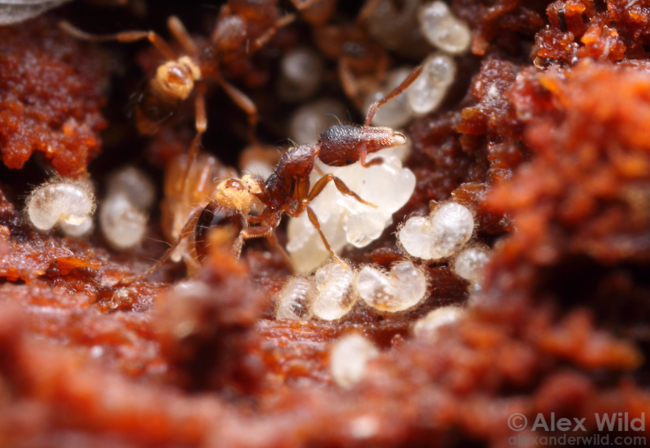 A small chamber in a rotting log houses a colony of the miniature predatory ant Strumigenys clypeata.  Urbana, Illinois, USA