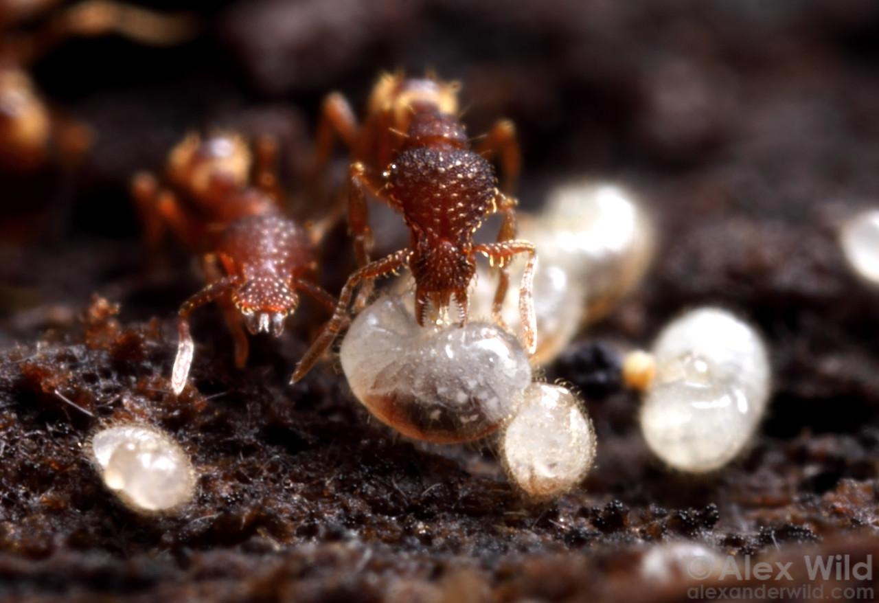 Miniature predatory ants (Strumigenys  rostrata) tend to larvae in the brood nest.  Urbana, Illinois, USA