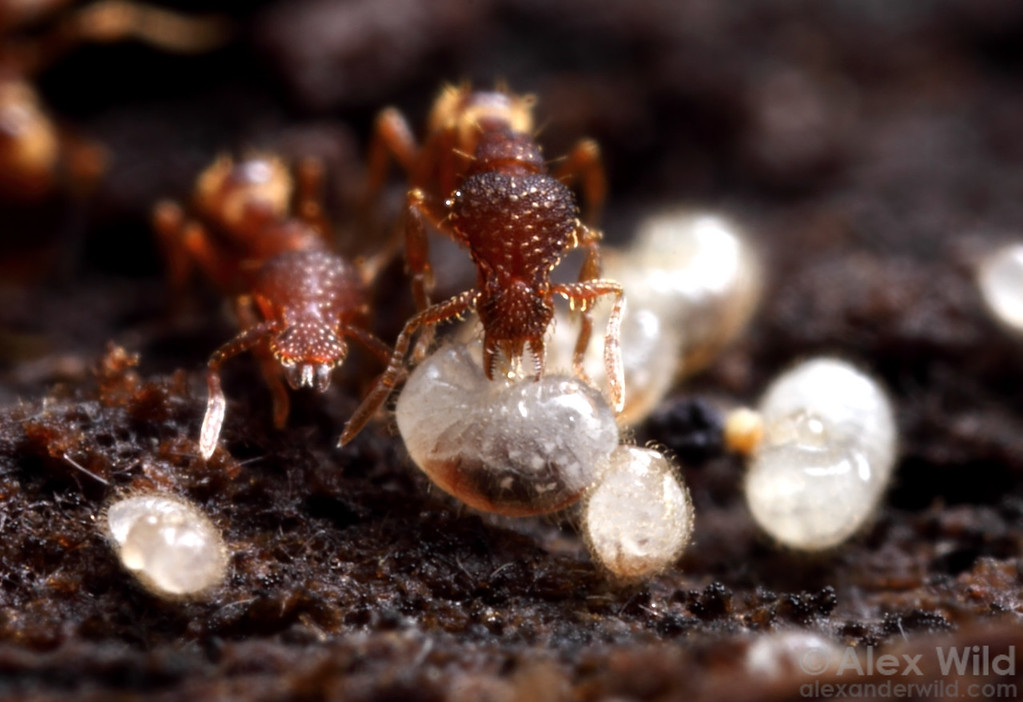 Miniature predatory ants (Strumigenys  rostrata) tend to larvae in the brood nest.  Urbana, Illinois, USA