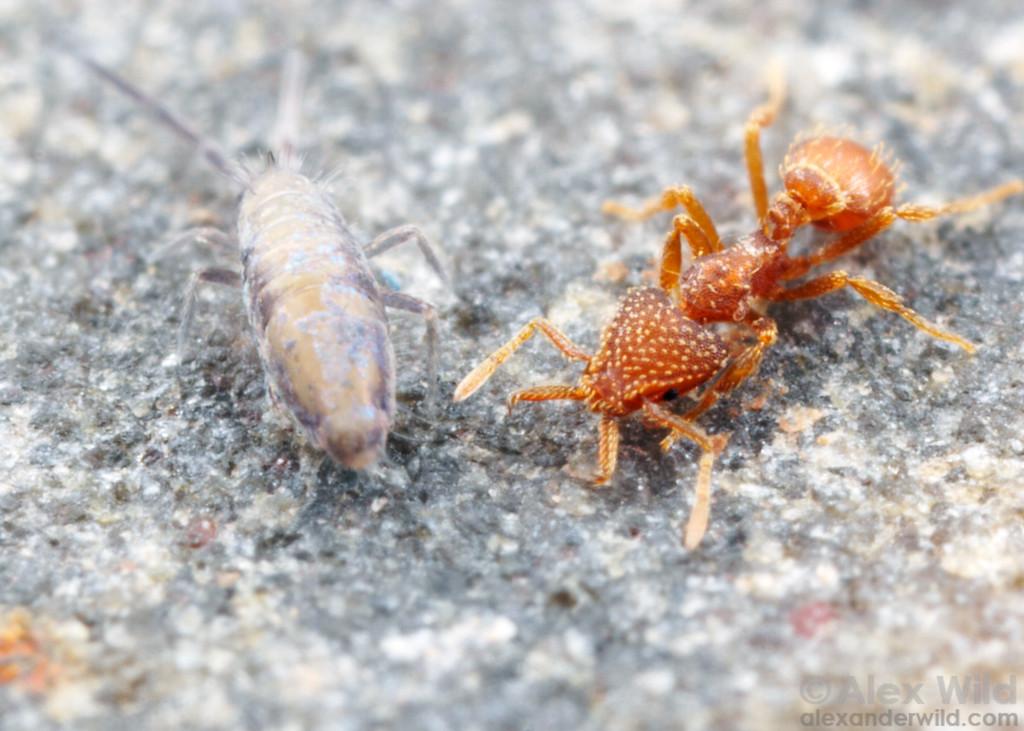 Strumigenys louisianae is a predator of springtails.  Tucson, Arizona, USA