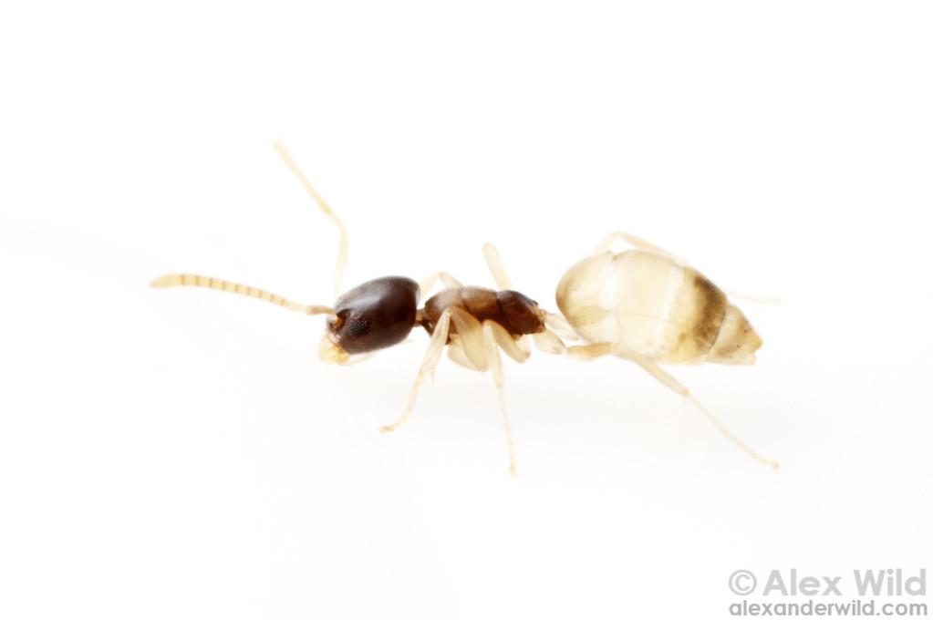 Tapinoma melanocephalum
