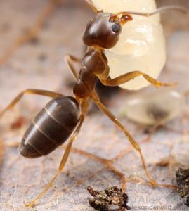 Tapinoma sessile, the odorous house ant.  Champaign, Illinois, USA