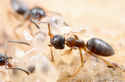 Tapinoma sessile, the odorous house ant, with larvae.  Champaign, Illinois, USA