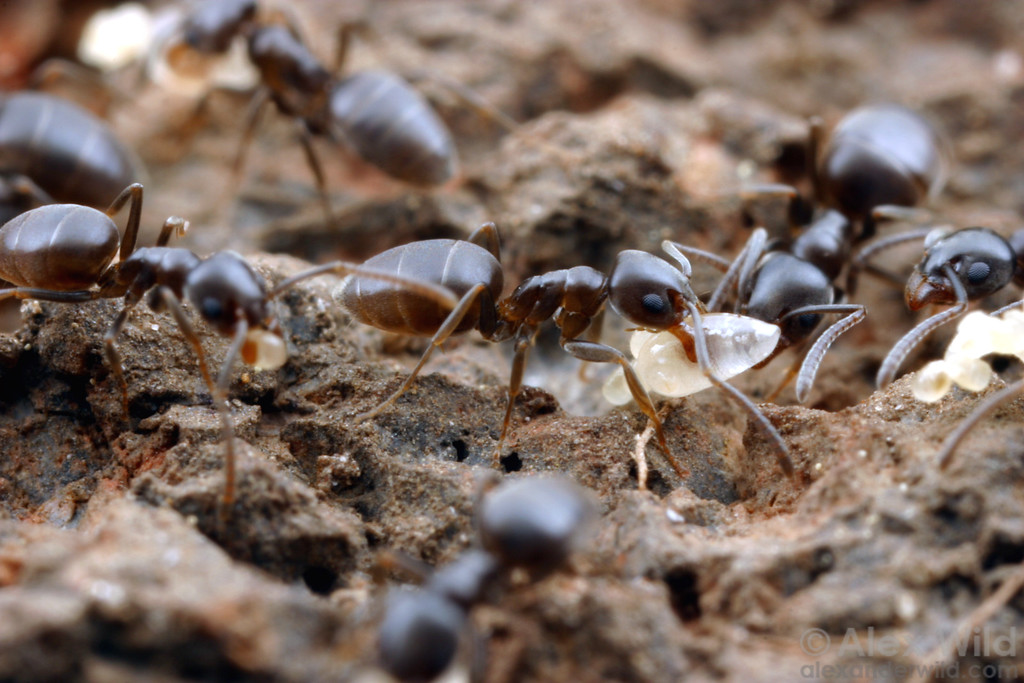 Tapinoma sessile workers carry brood to safety after the photographer disturbs their nest.  Calistoga, California, USA
