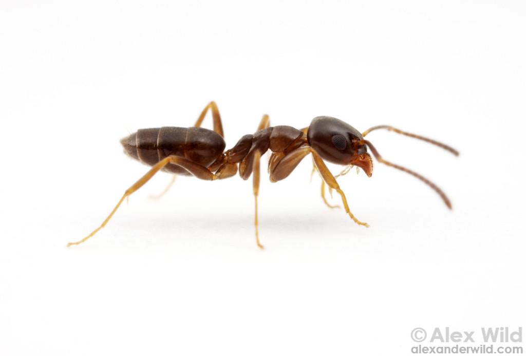 Tapinoma sessile - odorous house ant.  Urbana, Illinois, USA