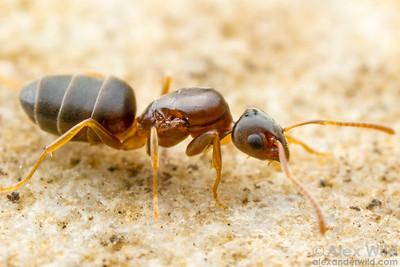 Tapinoma sessile - odorous house ant, queen.  Urbana, Illinois, USA