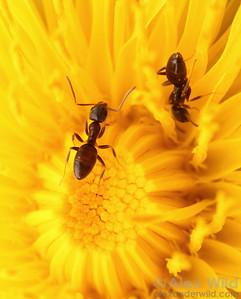 Odorous house ants (Tapinoma sessile) gather nectar from a spring dandelion.  Urbana, Illinois, USA
