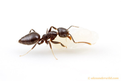 Technomyrmex difficilis, the white-footed ant, has spread around the world with commerce and is now common in many tropical countries. Here, a worker carries a pupa.  Cape Tribulation, Queensland, Australia