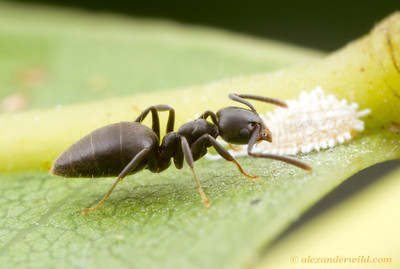 Technomyrmex albipes - white-footed ant tending to a mealybug (Pseudococcidae) for honeydew.   Cape Tribulation, Queensland, Australia