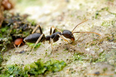 Technomyrmex andrei is a leggy, colorful ant.  Kibale Forest, Uganda