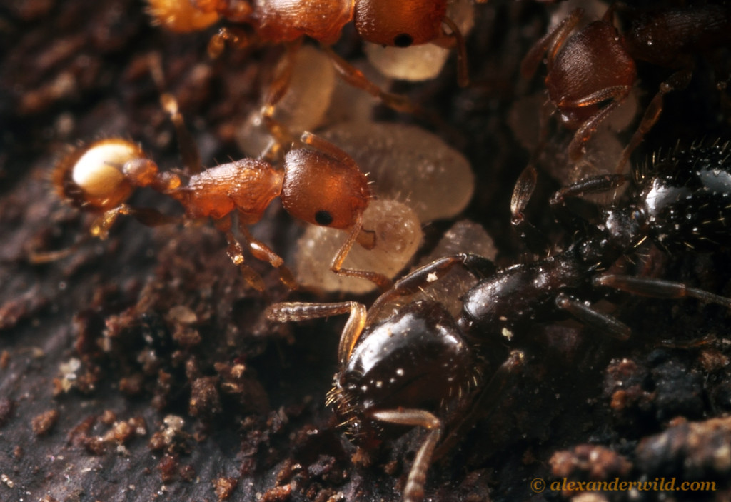 A picture of a host ant caring for brood with the parasitic ant nearby.