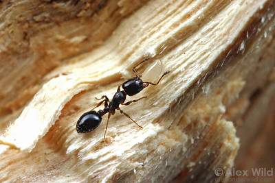 Temnothorax whitfordi is a wood-nesting species from southwestern North America.   Mojave National Preserve, California, USA
