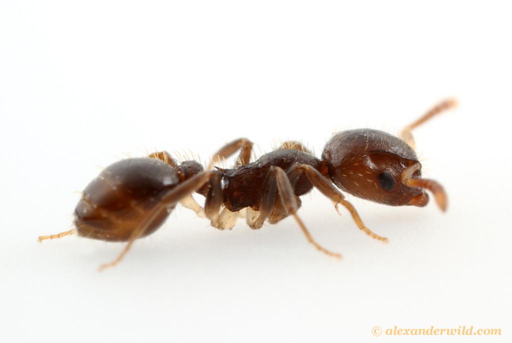 Temnothorax americanus