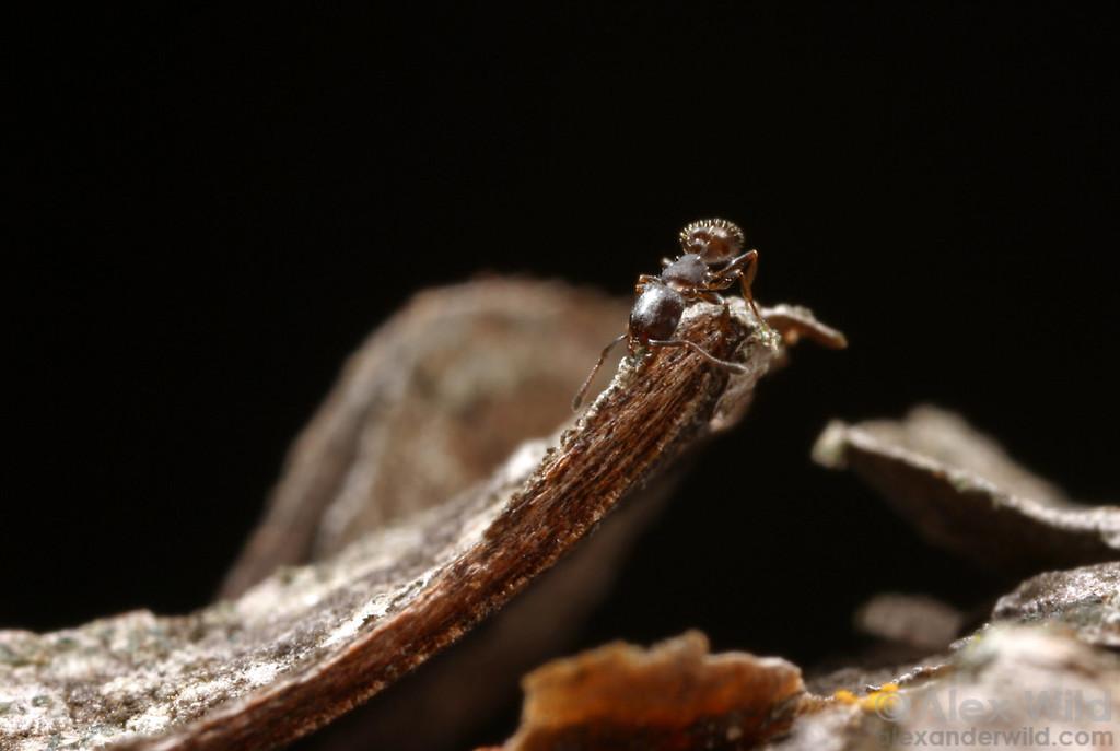 Temnothorax oxynodis