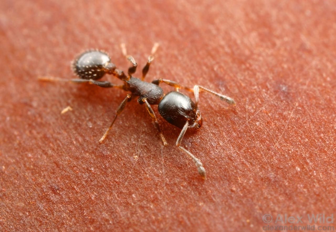 Temnothorax gallae