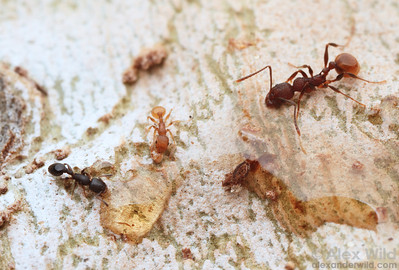 Baiting a tree trunk with honey brings out several ant species. From left to right, Temnothorax schaumii, Temnothorax curvispinosus, Aphaenogaster mariae.  Urbana, Illinois, USA