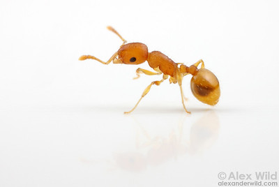 Temnothorax curvispinosus is a common acorn ant in eastern and central North America.  Champaign, Illinois, USA