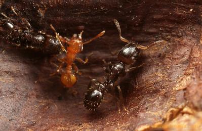Temnothorax americanus, Temnothorax curvispinosus