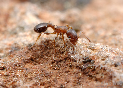 Temnothorax nevadensis  Sagehen Creek, California, USA