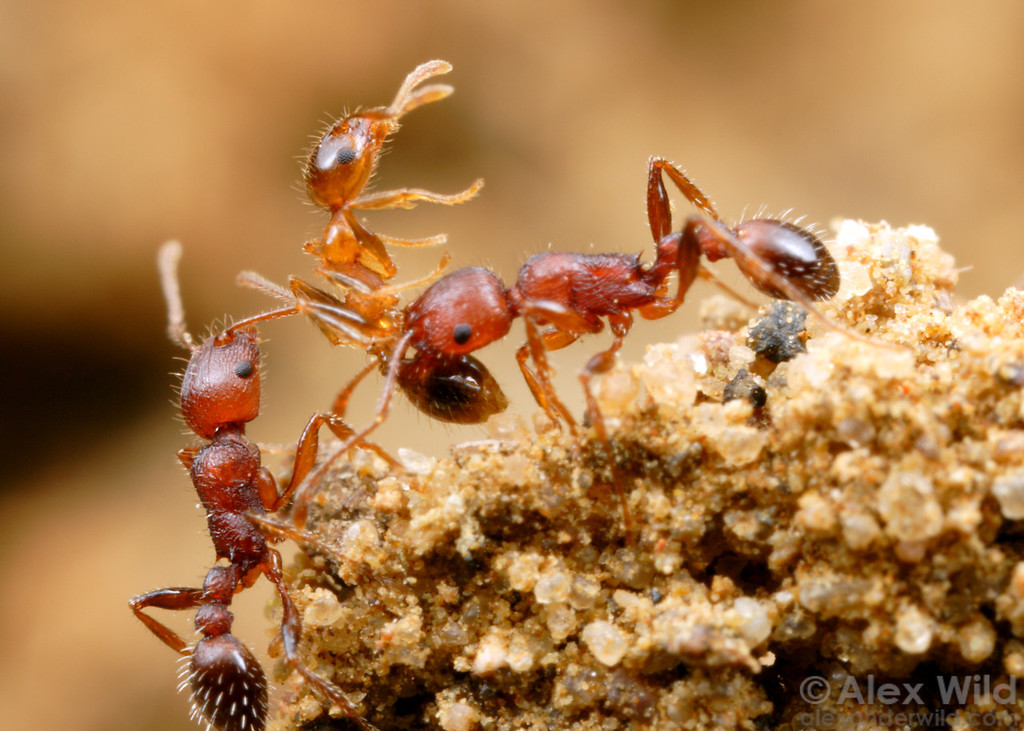The biggest enemies of ants are usually other ants, as competition for limited food and space is often intense.  Here, two Tetramorium workers have killed a Pheidole from a neighboring nest.  St. Lucia, KZN, South Africa