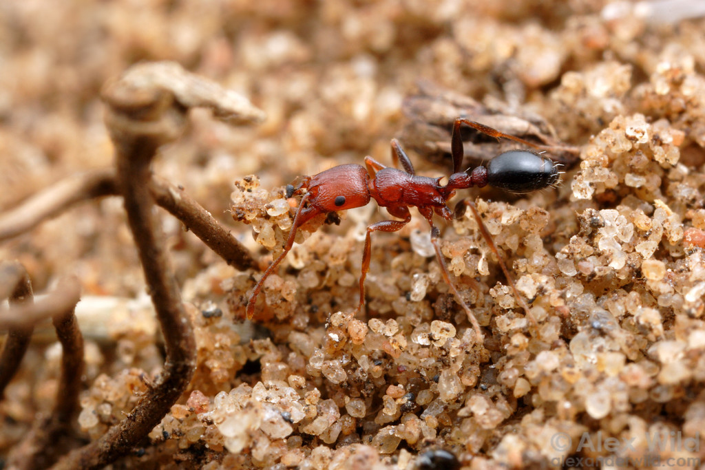 Tetramorium sericeiventre