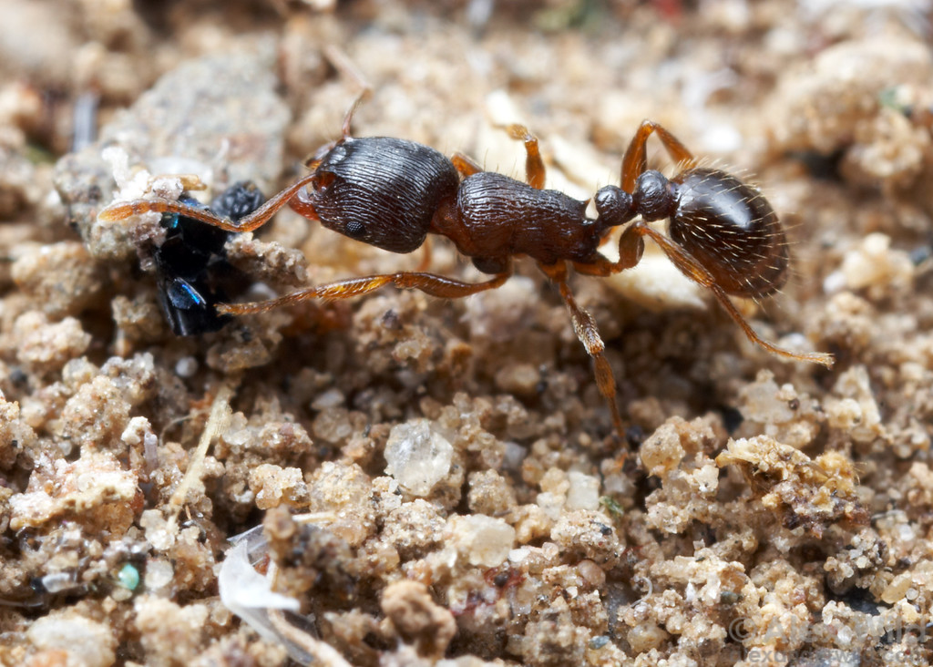 "Tetramorium ""species E""- the pavement ant.  This species was known as Tetramorium caespitum until recently, when detailed taxonomic and genetic work revealed that these common sidewalk ants were distinct from the Eurasian T. caespitum. 