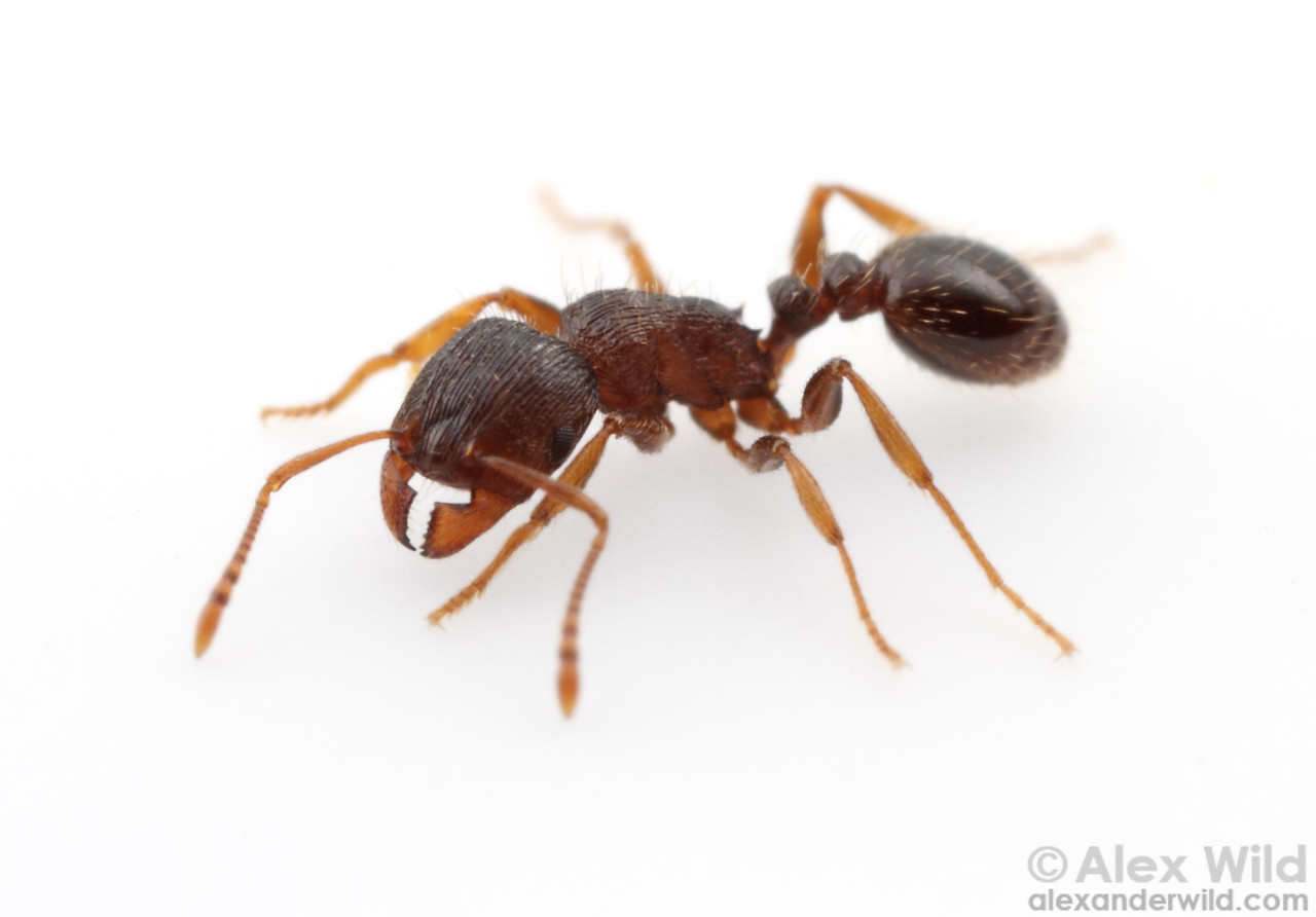 Tetramorium immigrans