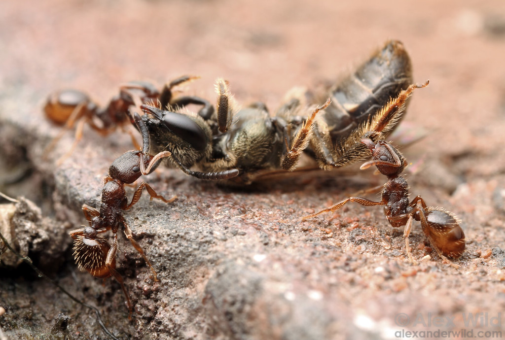 These predatory Tetramorium pavement ants have caught a soil-nesting Lasioglossum bee. Both are common sidewalk insects in eastern North America.