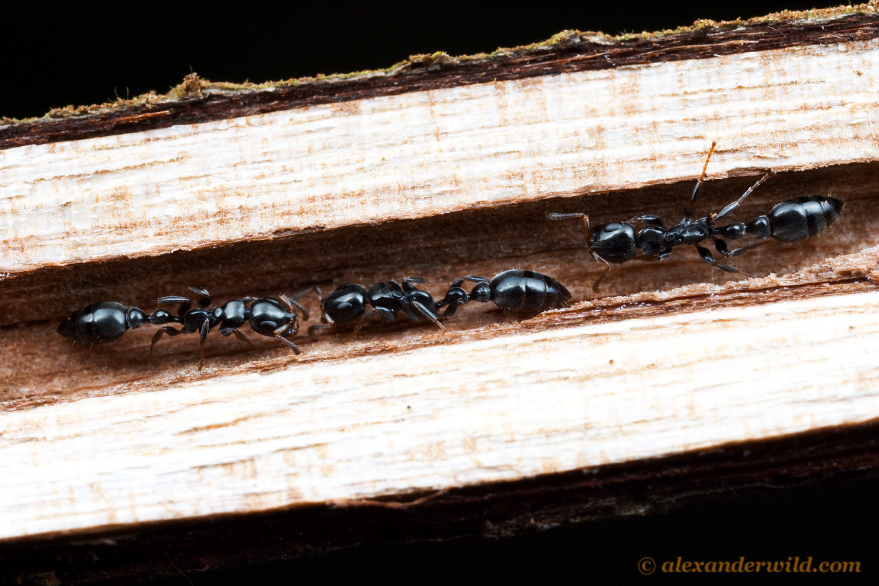 Arboreal Tetraponera nest in hollow spaces of twigs and branches.  The ants' slender bodies allow them to maneuver in narrow spaces. (Tetraponera laeviceps).  Cape York Peninsula, Queensland, Australia