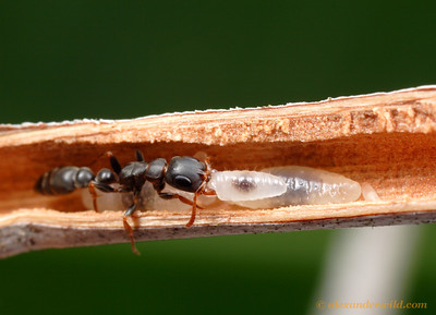 Tetraponera clypeata.  Worker with brood inside a hollow Acacia thorn.  St. Lucia, KZN, South Africa