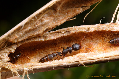 Tetraponera clypeata nest inside the hollow thorn of an Acacia tree.  The elongate form of these ants allows them to maneuver in such cramped quarters.  St. Lucia, KZN, South Africa