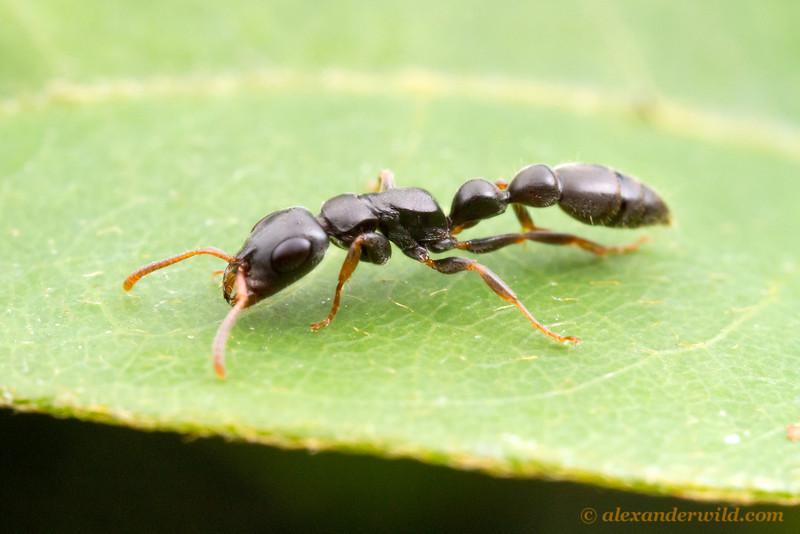Tetraponera mocquerysi, foraging worker.  Kibale forest, Uganda