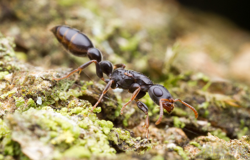 Young queens of the twig ant Tetraponera mocquerysi actively forage for food early in the life cycle of the colony. Once workers are produced, queens can stay safely in the nest.  Kibale forest, Uganda
