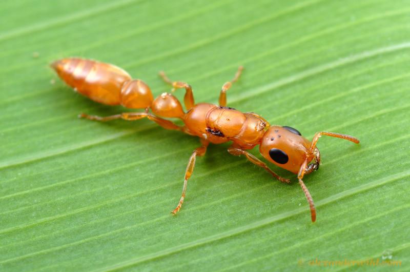 Tetraponera natalensis