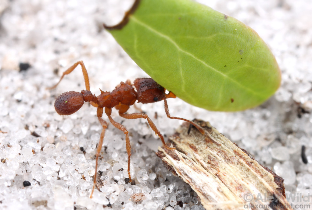 Trachymyrmex septentrionalis.  Trachymyrmex are the closest relatives of the larger leafcutting ants. While they normally use dead vegetative debris to cultivate their fungus, these ants will sometimes use living plant matter.    Archbold Biological Station, Florida, USA