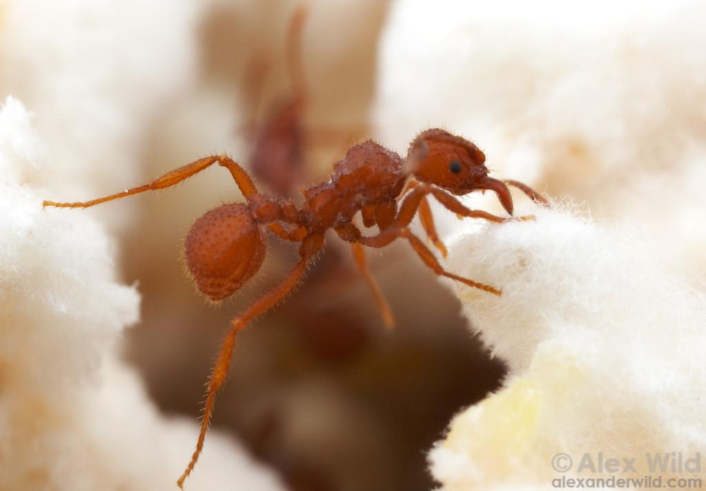 Trachymyrmex desertorum worker in the fungus garden.  Tucson, Arizona, USA