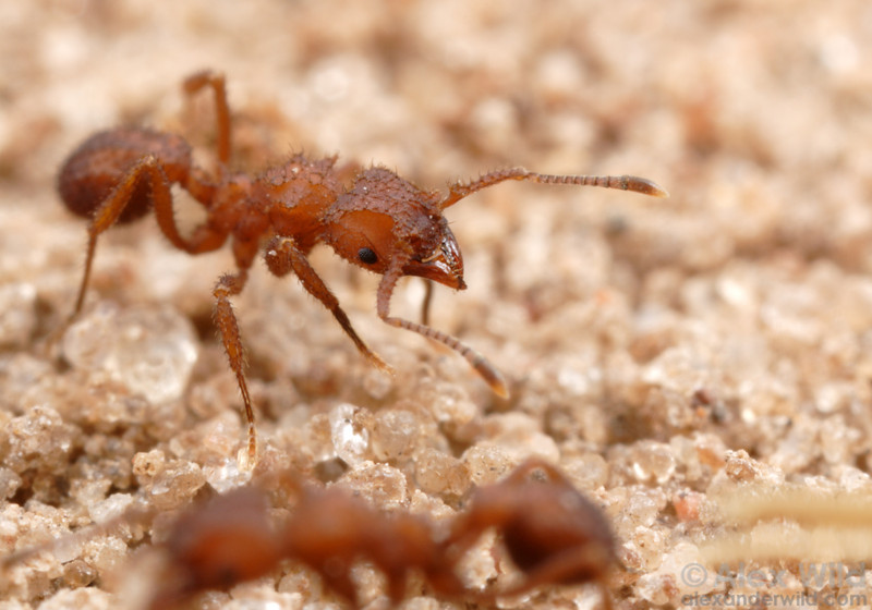 Trachymyrmex tucumanus